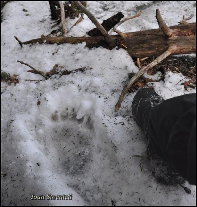 urma de urs in zapada