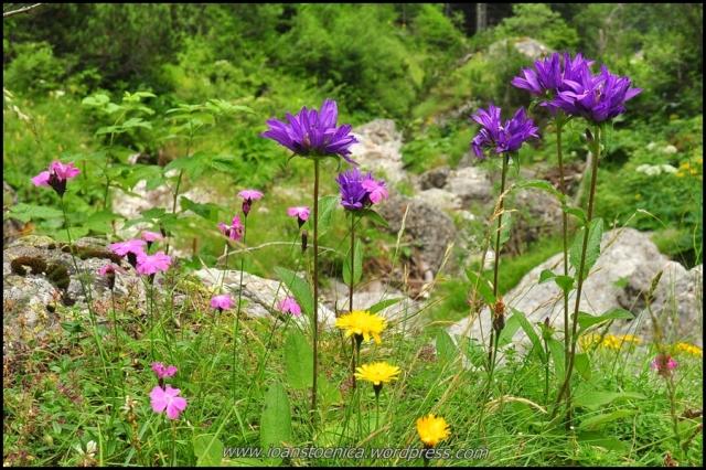 Flori de munte colorate