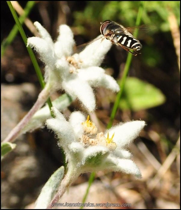 polenizare naturala