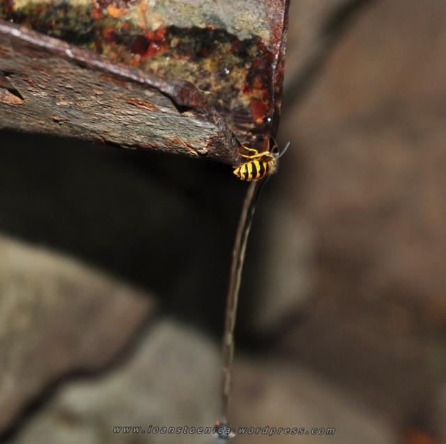 viespe bea apa