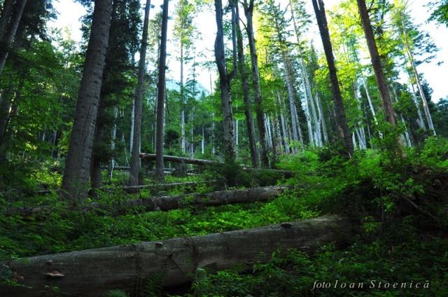 copaci cazuti - din Poiana Cotofenei - piatra craiului