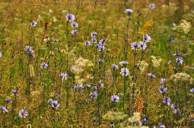 cicoare - imagini cu flori