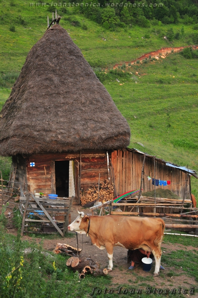 casa cu vaca