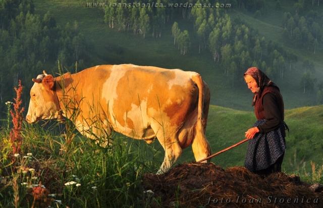 cu vaca pe deal