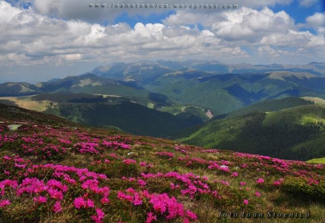 peisaje cu flori de munte