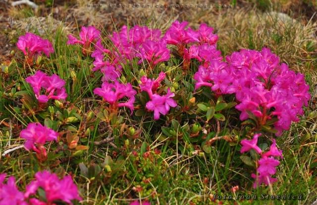bujori de munte - rododendron