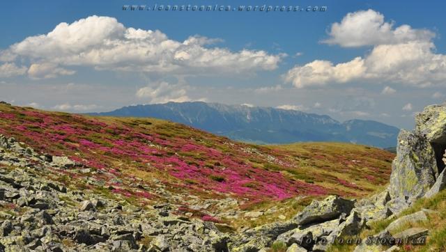piatra craiului si rododendron