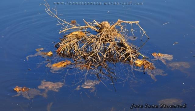 frog orgy - broaste pe lac