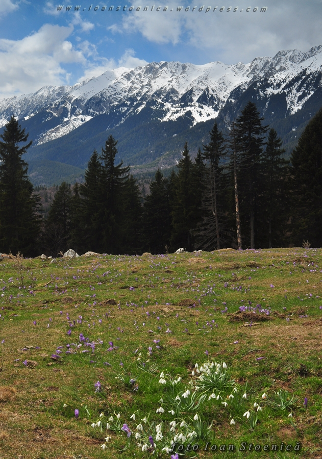 ghiocei la poalele Craiului