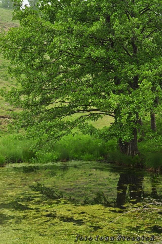 copac langa balta