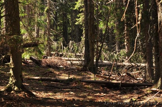 arbori cazuti in padure