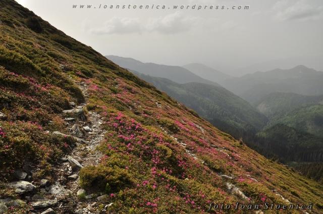 poteca printre rododendron - leaota