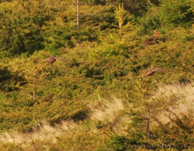 găinușe salbatice in zbor
