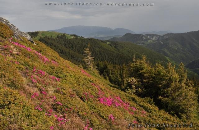 rododendron - muntele cioara