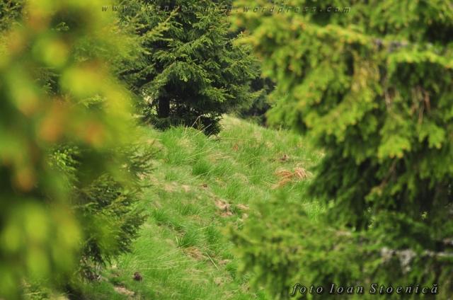 printre brazi - la panda (foto) de mistreti