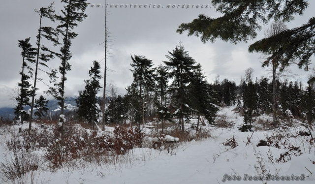 copaci in iarna
