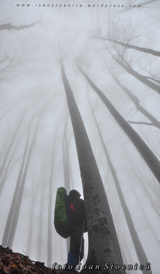 copaci inalti - fagi