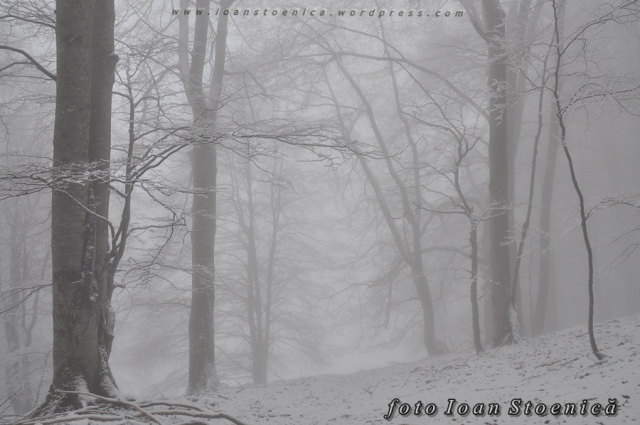 padure alba ceata