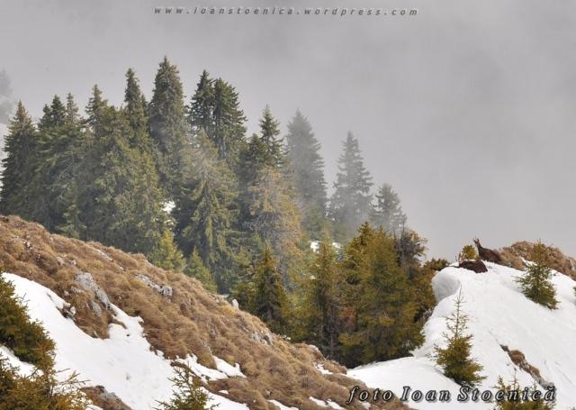 capre negre in buila - iarna