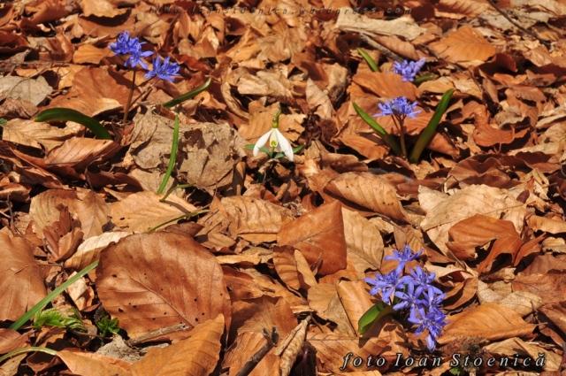 viorele intre frunze