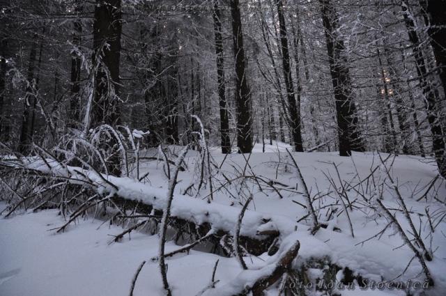 zapada in padurea de conifere