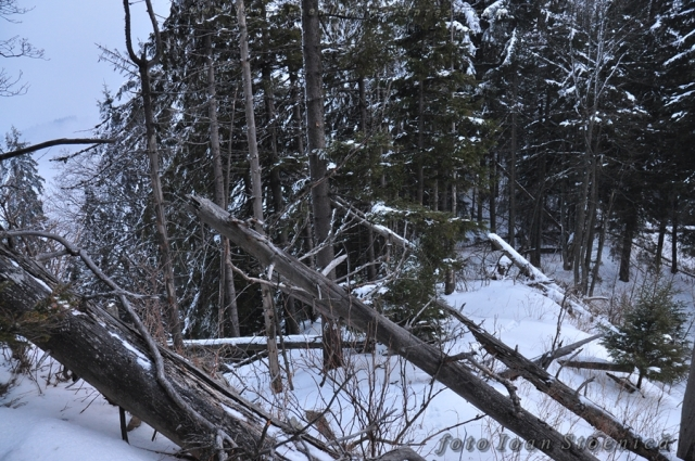 copaci cazuti in padure