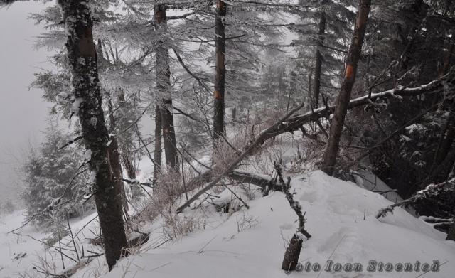 printre copacii albi