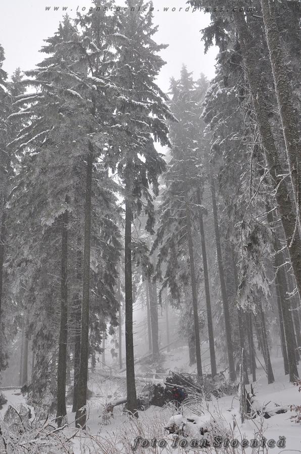copaci inalti in padure