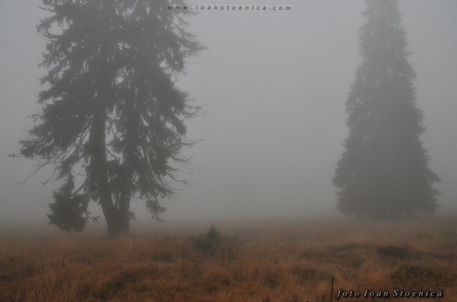 copaci in ceata