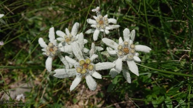 flori de colt Ciucas