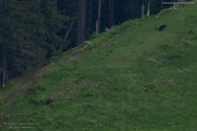 ursi langa padure