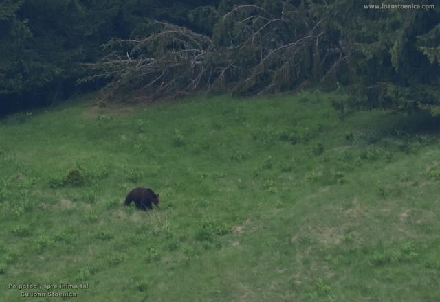 urs in iarba