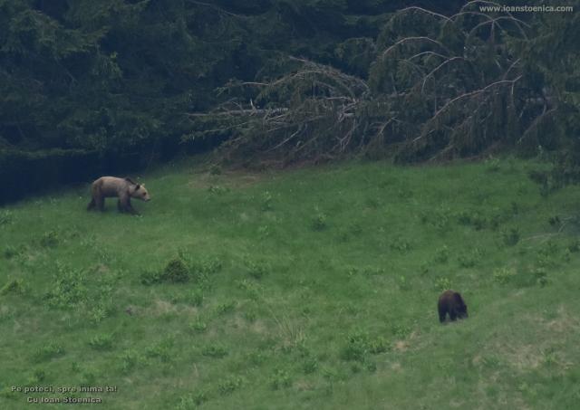 ursoaica si puiul