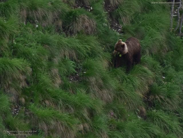 urs cu floare in gura