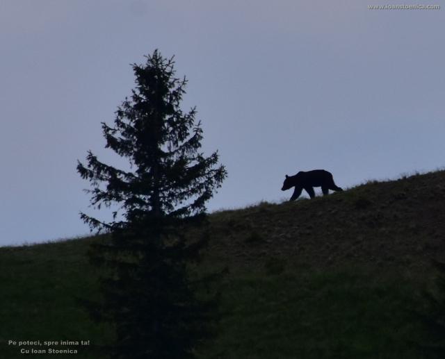 ursul pe culme